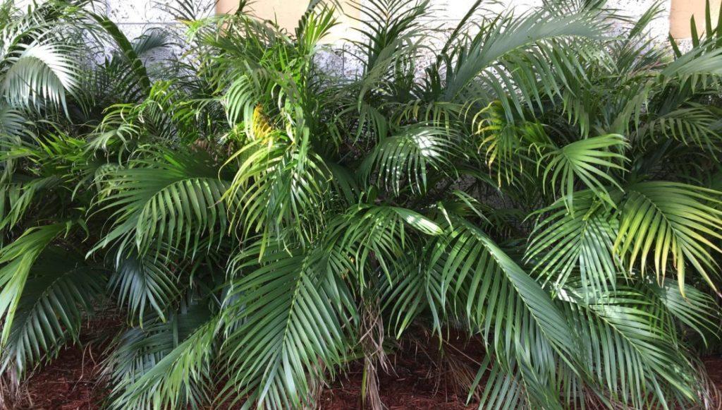 Bild einer Chamaedorea cataractarum