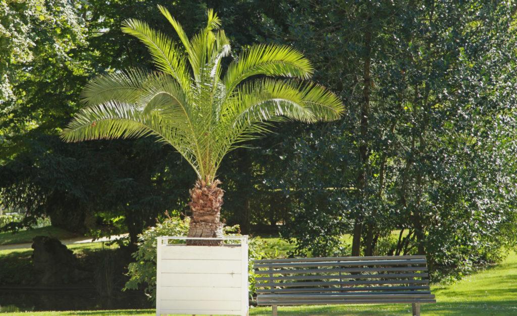 Bild einer Kanatischen Dattelpalme im Garten