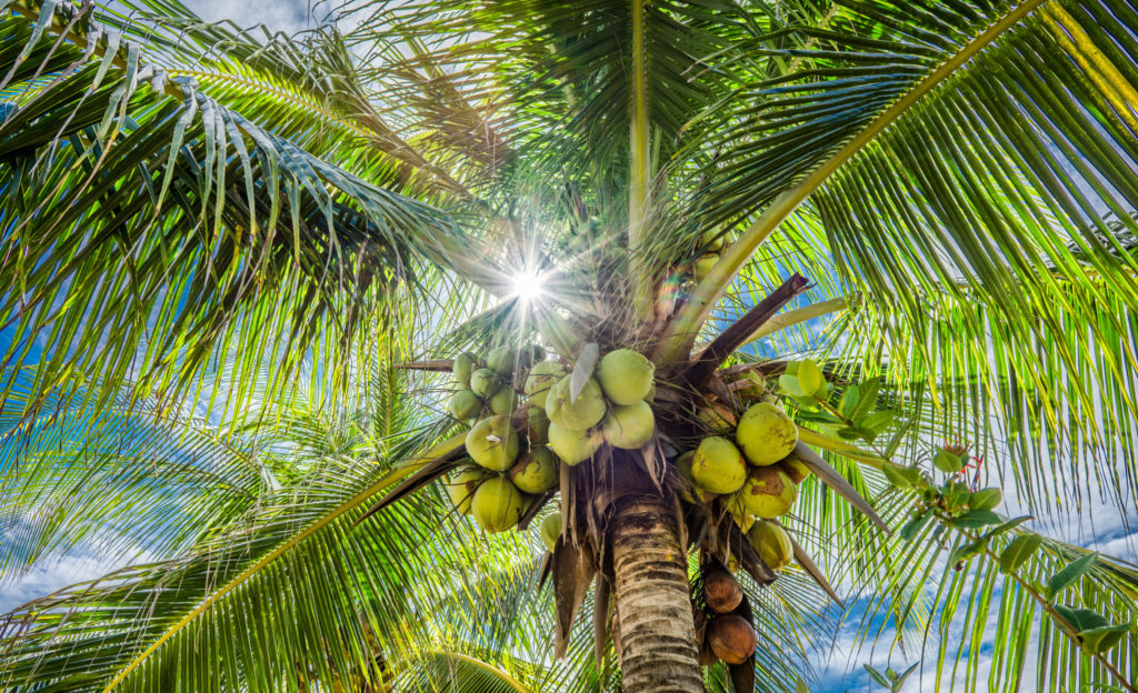 Bild der Wedel einer Kokospalme
