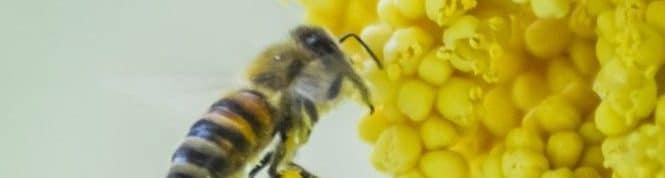 Biene sammelt Blüten von einer Hanfpalme